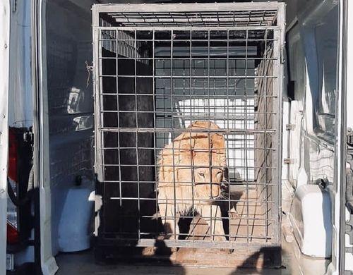 Cântăreţul de manele Dani Mocanu, audiat de poliţişti în cazul leului care apare într-un videoclip şi pare rănit şi sedat/ Animalul, găsit la o menajerie din Dâmboviţa şi preluat de autorităţi