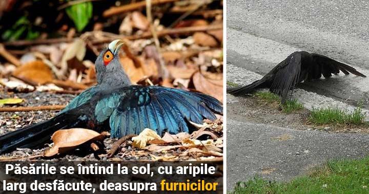 De ce îşi întind păsările aripile deasupra locurilor populate de furnici