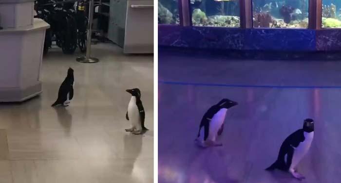 După închidere, aceşti pinguini sunt lăsaţi liberi prin acvariu
