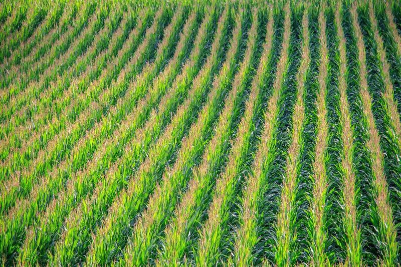 România, primul loc în UE la producția de porumb si floarea soarelui