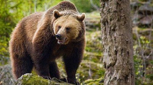 Urs filmat în timp ce rupe gardul unei gospodării în staţiunea Azuga
