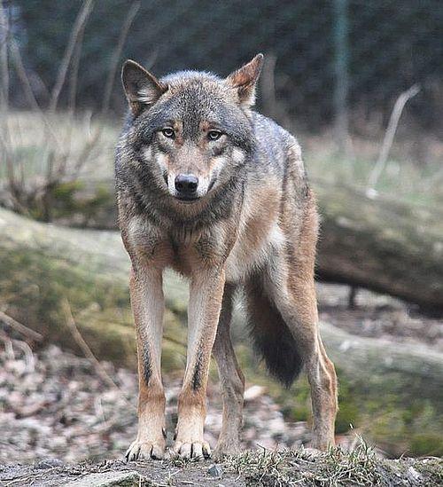 Prahova: O haită de lupi a atacat o stână, omorând 20 de oi. Proprietarul va fi despăgubit de Ministerul Mediului