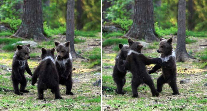 Un profesor a surprins trei ursuleţi care dansează în pădure