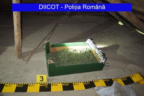 Doi tineri din Botoşani, reţinuţi după ce ar fi înfiinţat o cultură de cannabis; la percheziţii poliţiştii şi procurorii DIICOT au găsit aproximativ un kilogram de cannabis