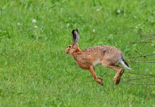 25 iepuri de câmp, împușcați de braconieri sâmbătă noaptea la Iași